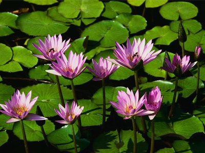 Preview water lilies